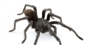 tarantula johnny cash, tarantula johnny cash picture, new tarantula johnny cash, new tarantula species, new tarantula species named after johnny cash, Aphonopelma johnnycashi