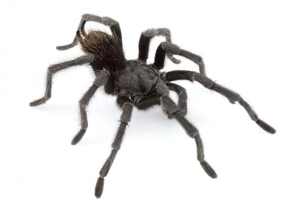 tarantula johnny cash, tarantula johnny cash picture, new tarantula johnny cash, new tarantula species, new tarantula species named after johnny cash, Aphonopelma johnnycashi