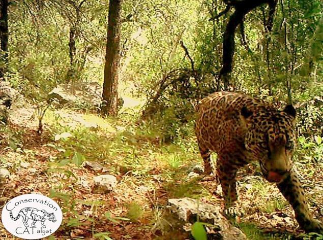 us wild jaguar video, us wild jaguar, us wild jaguar picture, us wild jaguar, el jeffe us wild jaguar, us wild jaguar picture and video, first video us wild jaguar