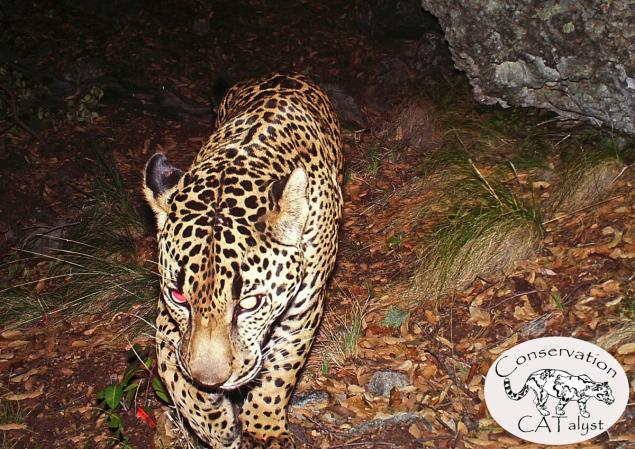 us wild jaguar video, us wild jaguar, us wild jaguar picture, us wild jaguar, el jeffe us wild jaguar, us wild jaguar picture and video, first video us wild jaguar