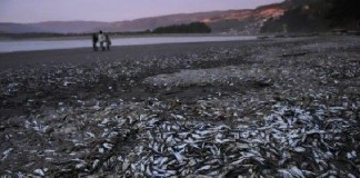 4 tons sardines beach chile, mysterious sardines mass die-off chile, mysterious sardines mass die-off chile march 2016, mysterious sardines mass die-off chile pictures, mysterious sardines mass die-off chile video