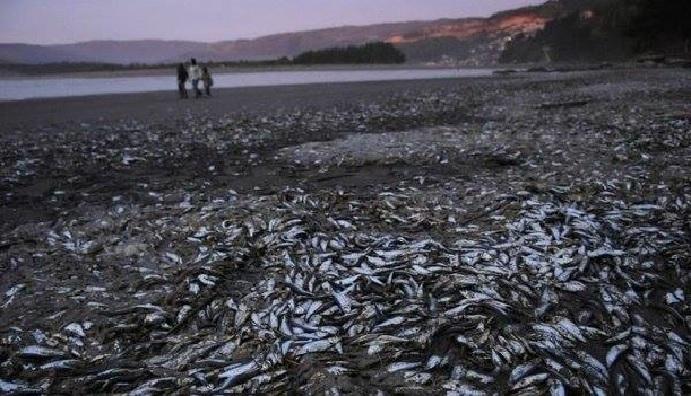 4 tons sardines beach chile, mysterious sardines mass die-off chile, mysterious sardines mass die-off chile march 2016, mysterious sardines mass die-off chile pictures, mysterious sardines mass die-off chile video