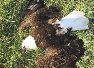maryland bald eagles poisoned, Bald eagle maryland mass die-off, 13 dead bald eagles maryland, cause of death of 13 bald eagles maryland, bald eagle mysterious mass die-off maryland cause, not natural cause bald eagle maryland, maryland bald eagles poisoned