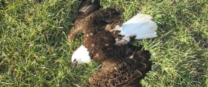 maryland bald eagles poisoned, Bald eagle maryland mass die-off, 13 dead bald eagles maryland, cause of death of 13 bald eagles maryland, bald eagle mysterious mass die-off maryland cause, not natural cause bald eagle maryland, maryland bald eagles poisoned