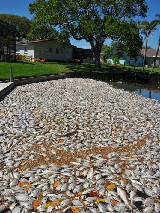 Indian River Lagoon fish kill in Florida, florida fish kill, hundred thousands of fish dead in florida, mysterious fish kill in florida, florida indian riverlagoon fish kill, florida fish kill march 2016