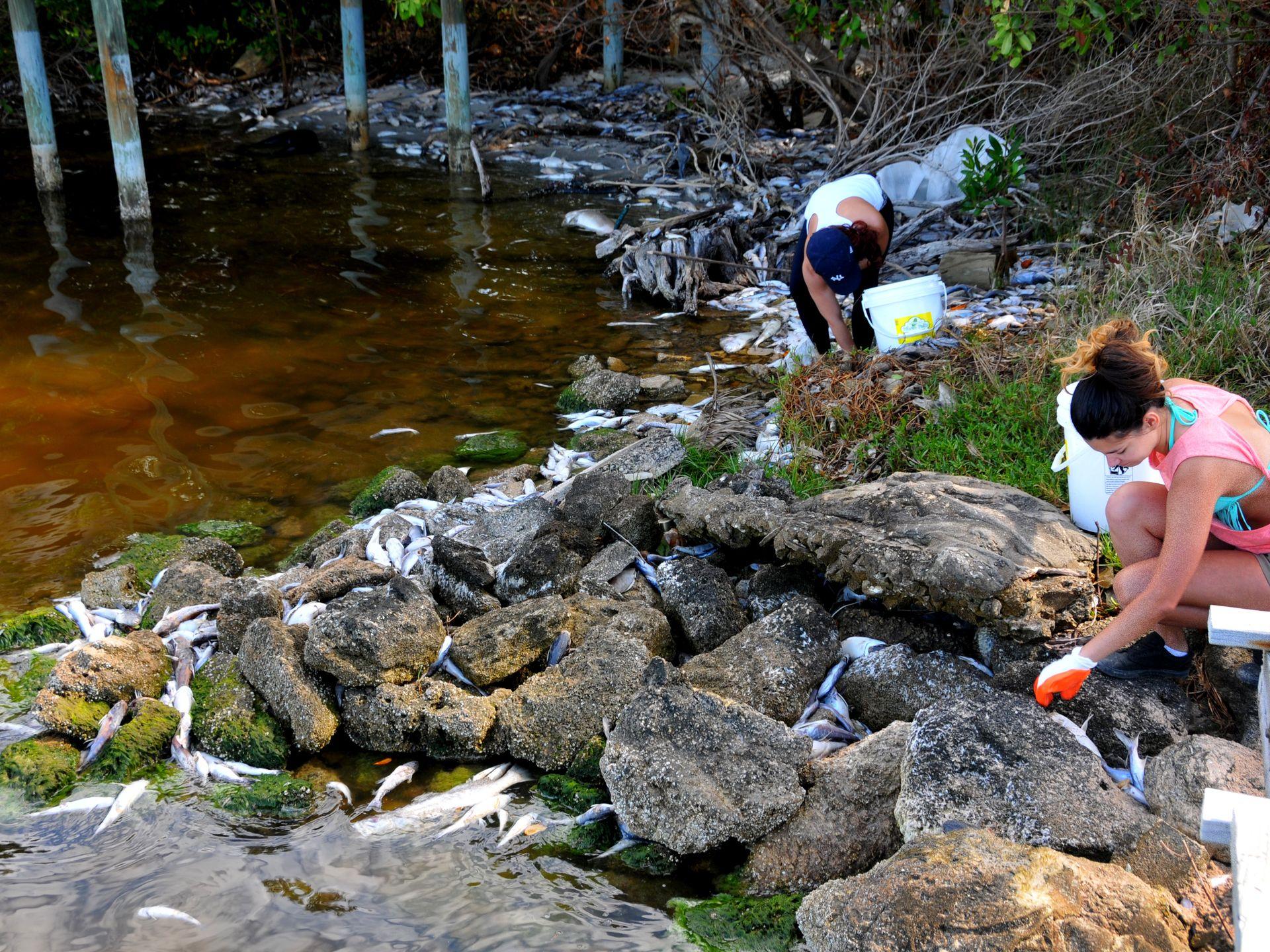 Indian River Lagoon fish kill in Florida, florida fish kill, hundred thousands of fish dead in florida, mysterious fish kill in florida, florida indian riverlagoon fish kill, florida fish kill march 2016