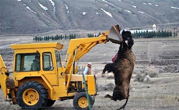 bison slaughter yellowstone. bison killing yellowstone, yellowstone bison killing 2016, 1000 bisons captured and killed in Yellowstone, why are they killing bisons in Yellowstone, yellowstone national park bison killing
