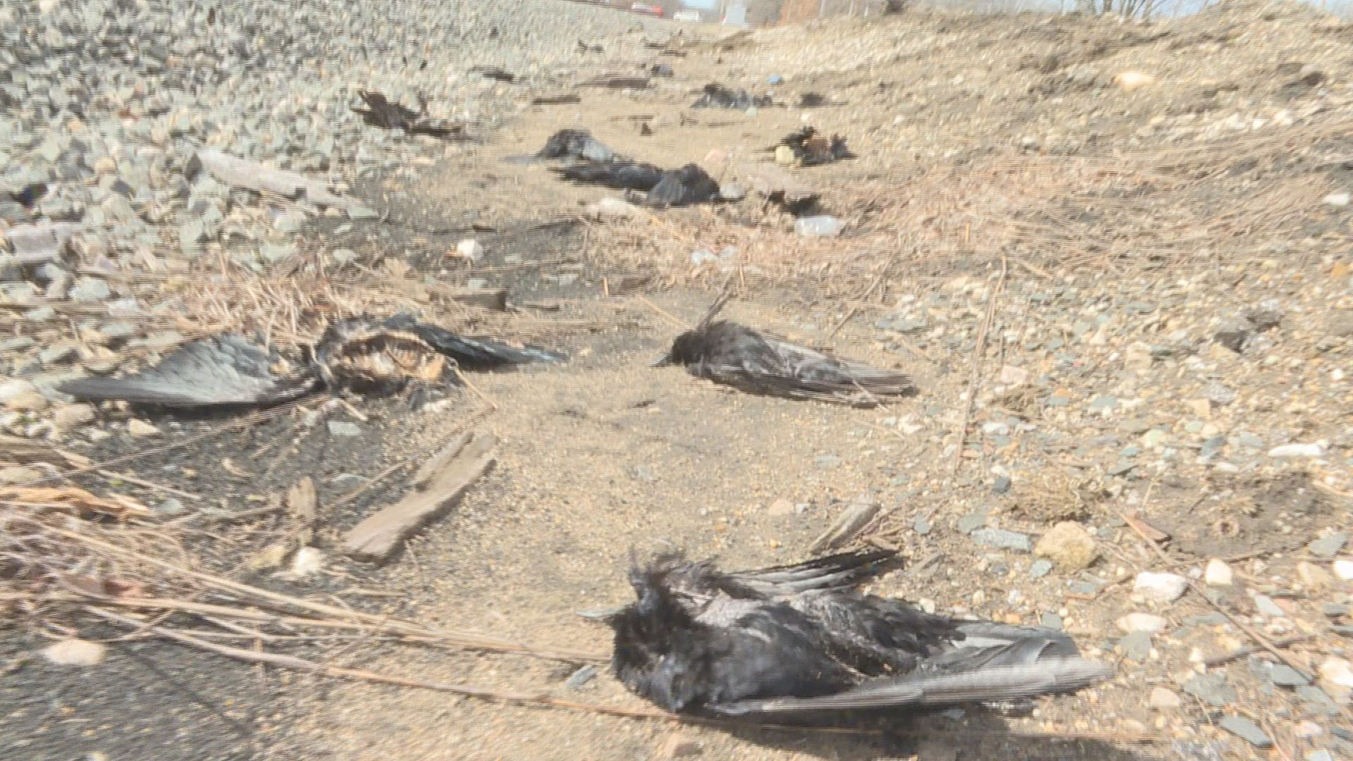 dead crow springfield michigan, hundreds dead crow springfield michigan, mystery as hundreds of dead crow springfield michigan, hundreds of dead crow found in springfield michigan