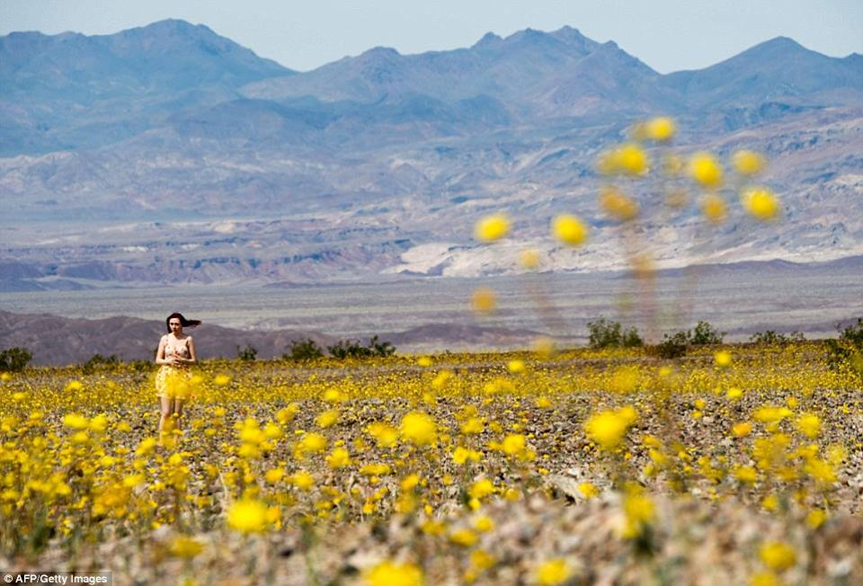 death valley super bloom, death valley super bloom 2016, death valley super bloom march 2016, death valley super bloom pictures video, death valley super bloom video 2016, death valley super bloom pictures and videos march 2016