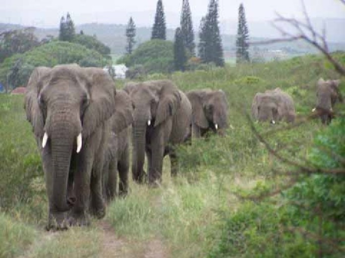elephant herds make tribute to lawrence anthony, lawrence anthony tribute, lawrence anthony tribute elephant, elephant make tribute to lawrence anthony