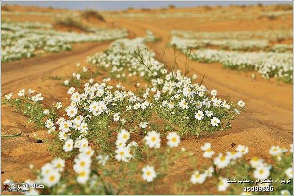 saudi arabia flower desert, saudi arabia flower desert 2016 pictures, saudi arabia flower desert 2016 video, flowering desert saudia arabia march 2016, flowering desert rafha saudi arabia march 2016, flowering desert march 2016, blooming desert march 2016 rafha saudi arabia pictures