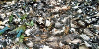5000 birds killed storm bengladesh, birds killed storm bengladesh april 2016, 5000 birds killed by storm in Bengladesh, dead birds bengladesh april 2016
