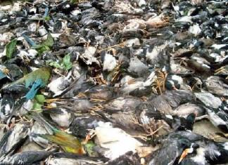 5000 birds killed storm bengladesh, birds killed storm bengladesh april 2016, 5000 birds killed by storm in Bengladesh, dead birds bengladesh april 2016
