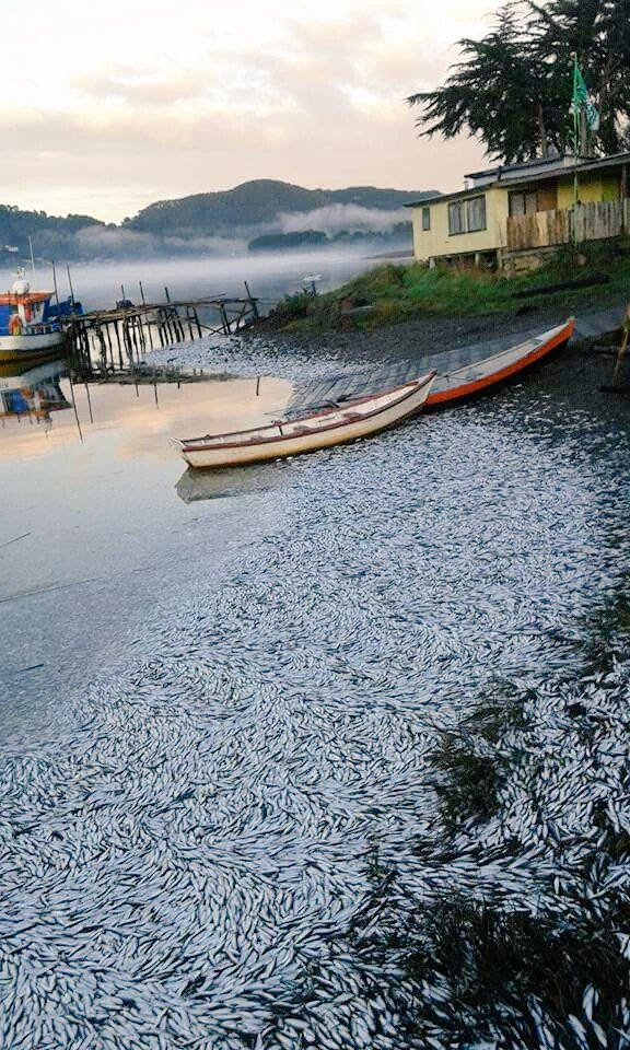millions dead sardines chile queule river, fish kill chile april 2016, apocalyptical mass die-off chile april 2016, millions of sardines die in queule river chile