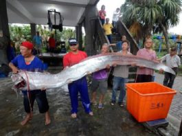 oarfish mud volcano earthquake taiwan april 2016, mud volcano eruption taiwan, oarfish taiwan, earthquake swarm taiwan, oarfish mud volcano earthquake taiwan april 2016 video, oarfish appears after mud volcano eruption in taiwan, oarfish earthquake swarm taiwan april 2016