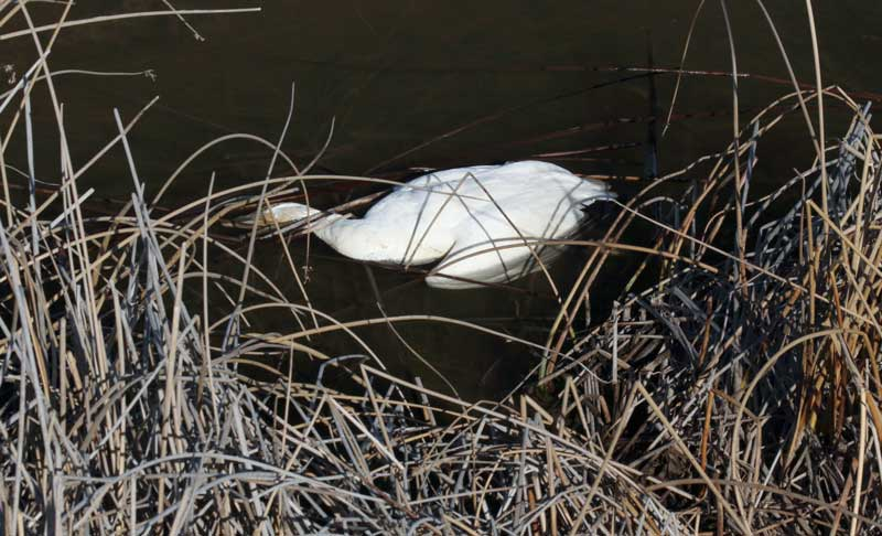 300 geese killed by poisonous gas idaho, geese die-off idaho, 300 geese die idaho, idaho hundred geese dead