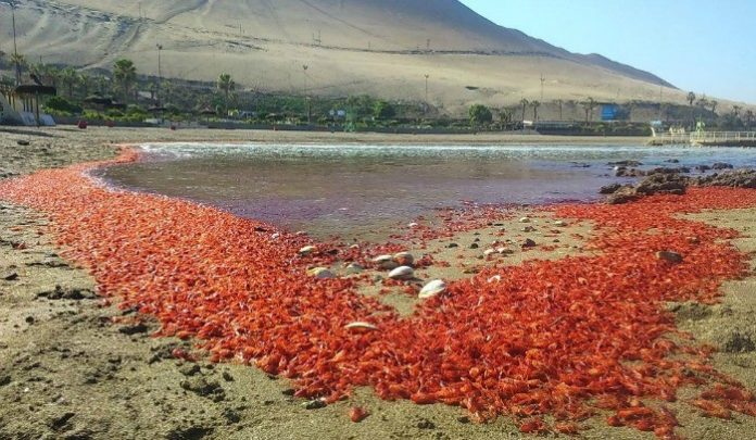 animal die-off chile, animal die-off chile cormorants prawns may 2016, shrimps die-off arica chile, masiva varazón de langostinos en Arica, cormorants mass die-off chile, 50 cormorants dead chile may 2016, chile prawns die-off may 9 2016, red beach chile mass die-oof, millions schrimps die arica beach chile may 9 2016, Varazón de langostinos arica, schrimps die-off arica may 9 2016 video