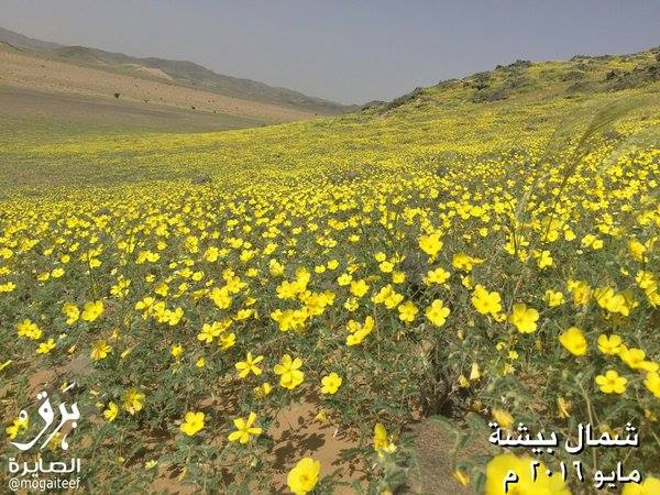 flower desert saudi arabia, flowering desert saudi arabia, flower desert saudi arabia may 2016, flower desert saudi arabia pictures