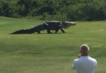 huge alligator golf course florida, huge alligator ambles across golf course florida video, huge alligator golf course florida video, huge alligator golf course florida may 2016 video