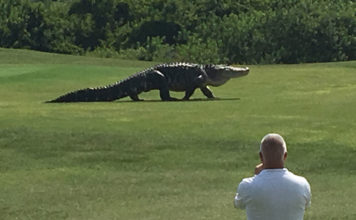 huge alligator golf course florida, huge alligator ambles across golf course florida video, huge alligator golf course florida video, huge alligator golf course florida may 2016 video