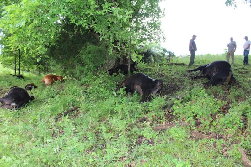 lightning kills cattle missouri may 2016, lightning kills 21 head of cattle south dakota, 21 head of cattle killed by lightning, lightning kills entire heard of cattle, 21 cattle killed by lightning in south dakota, cattle killed by lightning south dakota, herd of cattle killes by lightning bolt