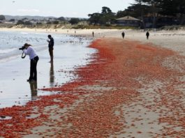 millions red crabs monterey beach california may 2016, millions red crabs monterey california may 2016, millions red crabs monterey california may 2016 pictures, millions red crabs monterey beach california may 2016 video, millions red crabs stranding monterey beach california may 2016, monterey red crabs may 2016 monterey california red crabs may 2016 photo video