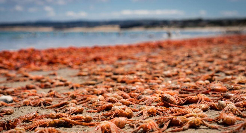 millions red crabs monterey beach california may 2016, millions red crabs monterey california may 2016, millions red crabs monterey california may 2016 pictures, millions red crabs monterey beach california may 2016 video, millions red crabs stranding monterey beach california may 2016, monterey red crabs may 2016 monterey california red crabs may 2016 photo video