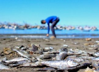 red tide chile salmon sardines die-off, fish die-off, chile fish mass die-off, red tide kills millions of fish in chile, why are fish dying in chile, chile salmon and sardines die-off