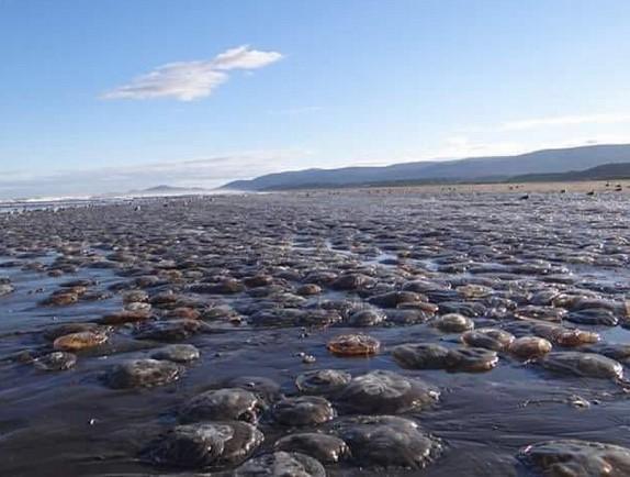 thousands jellyfish die chile, jellyfish die-off chile, chile jellyfish die-off chiloe
