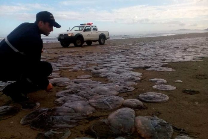 thousands jellyfish die chile, jellyfish die-off chile, chile jellyfish die-off chiloe