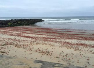 tuna crab imperial beach california, tuna crab die-off imperial beach california, tuna crab imperial beach california may 11 2016, tuna crab imperial beach california photo, tuna crab imperial beach california video