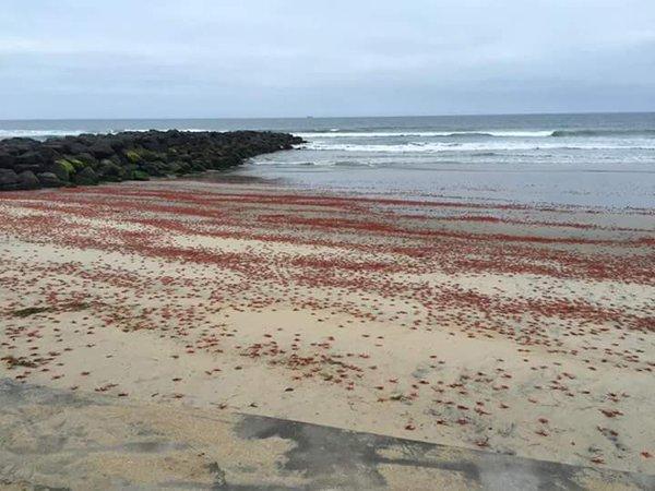 tuna crab imperial beach california, tuna crab die-off imperial beach california, tuna crab imperial beach california may 11 2016, tuna crab imperial beach california photo, tuna crab imperial beach california video