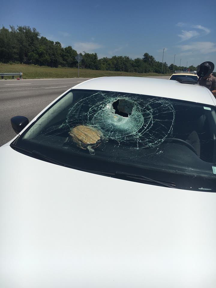 turtle crash window florida, flying turtle florida, flying turtle smash car window florida