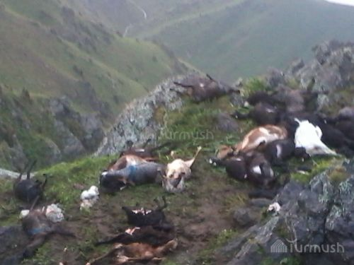 120 sheep killed by lightning in Kyrgyzstan, lightning kills 120 sheep, 120 sheep killed by lightning june 2016, 120 sheep killed by lightning in Kyrgyzstan pictures, 120 sheep killed by lightning in Kyrgyzstan photos, 120 sheep killed by lightning in Kyrgyzstan, lightning kills 120 sheep Kyrgyzstan, lightning kills 120 sheep Kyrgyzstan photo, lightning kills 120 sheep Kyrgyzstan june 2016