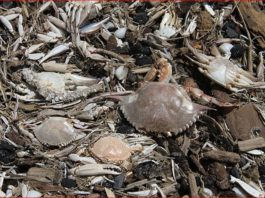 dead crabs starfish port aransas texas, port aransas dead mass die-off, mysterious die off port aransas, thousands of crabs and sea stars die in port aransas texas, crab sea star die off port aransas