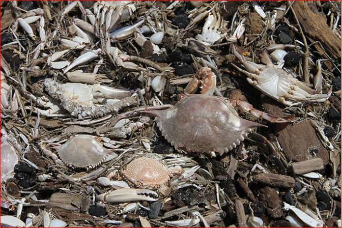 dead crabs starfish port aransas texas, port aransas dead mass die-off, mysterious die off port aransas, thousands of crabs and sea stars die in port aransas texas, crab sea star die off port aransas