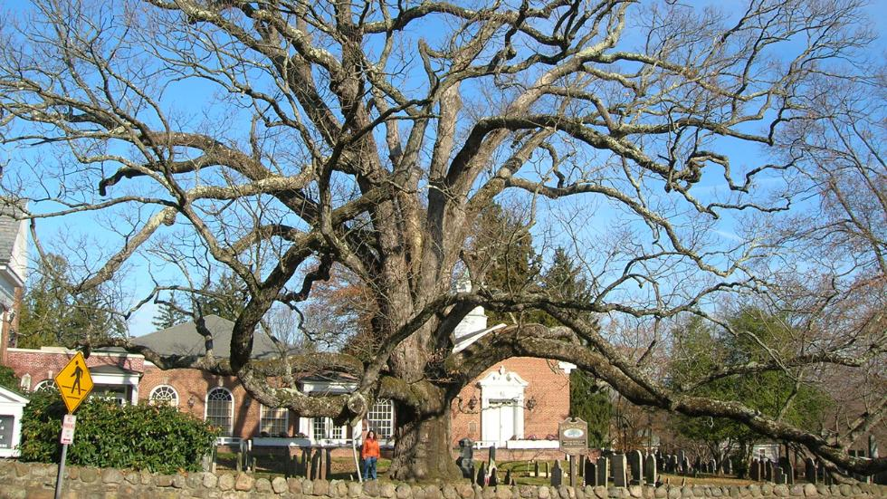 The oldest white oak tree in the US is dying and no one knows why, holy oak new jersey dying, holy oak dying, The oldest white oak tree in the US is dying