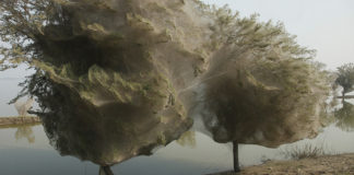 spiders flee tasmania floods, spiders flee floods in tasmania, spider ballooning tasmania, spiders invade trees in tasmania, tasmania floods: ballooning spiders, tasmania flooding: spiders flee floods by creating large nest on trees