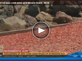 Thousands of red tuna crabs die or dying on Mission Beach San Diego, Thousands of red tuna crabs die or dying on Mission Beach San Diego june 2016, Thousands of red tuna crabs washed ashore on June 7 2016 in Mission Beach San Diego California