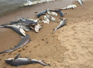 dead sharks alabama, 60 dead sharks dead Mobile Bay alabama, dead baby sharks alabama, alabama shark die-off, dozens of sharks mysteriously die in Mobile bay alabama