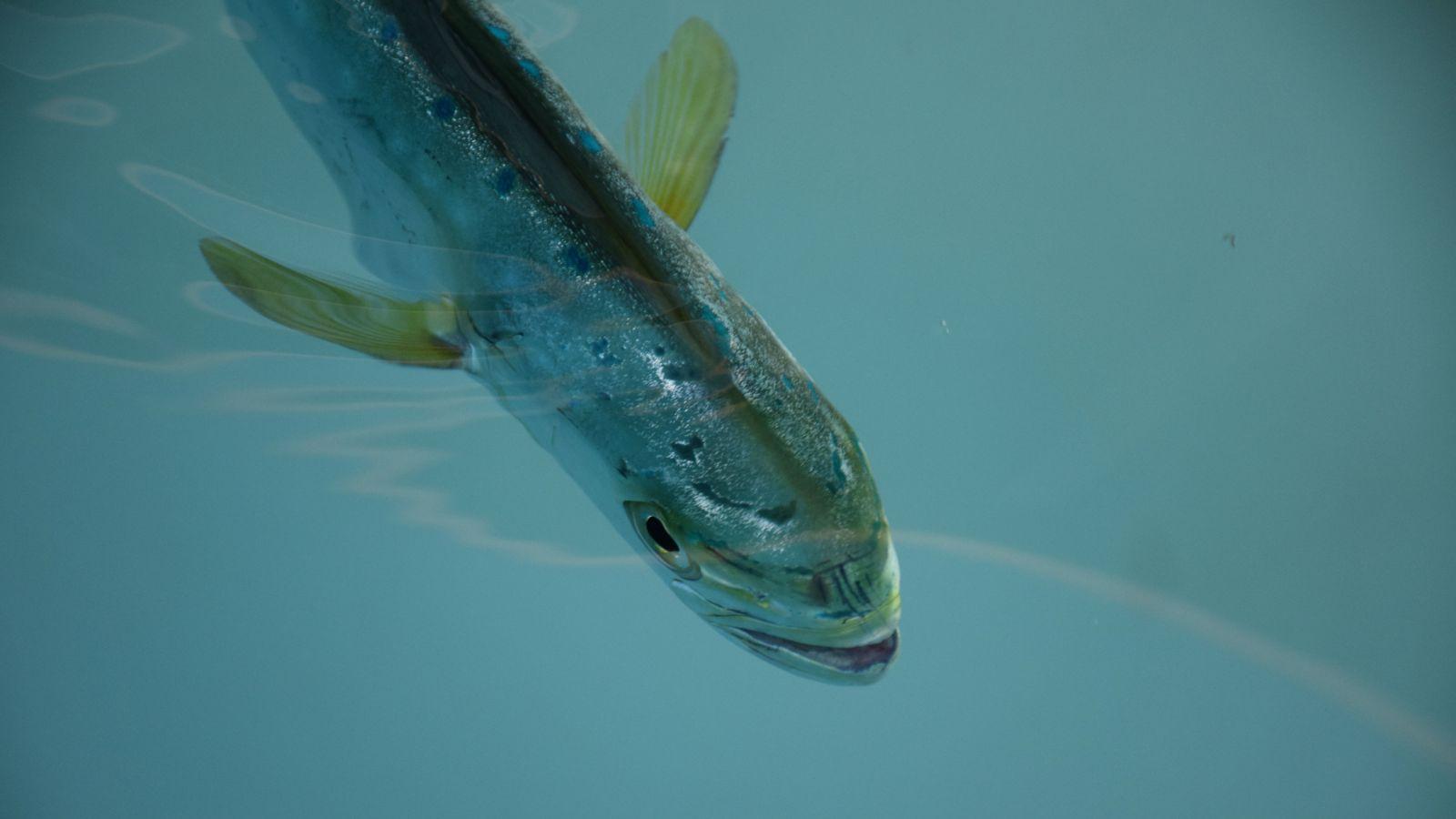 Mahi deepwater horizon, effect deepwater horizon on fish, fish kill deepwater horizon