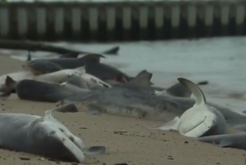 dead sharks alabama, 60 dead sharks dead Mobile Bay alabama, dead baby sharks alabama, alabama shark die-off, dozens of sharks mysteriously die in Mobile bay alabama