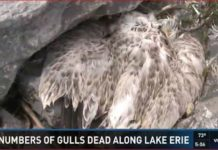 hundreds gulls dead lake erie buffalo, dead gulls lake erie buffalo, what's killing gulls in buffalo, gulls die-off lake erie buffalo, gulls die-off buffalo