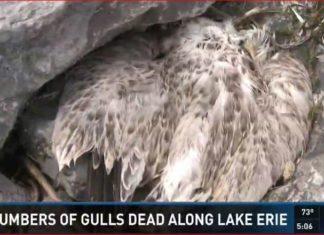 hundreds gulls dead lake erie buffalo, dead gulls lake erie buffalo, what's killing gulls in buffalo, gulls die-off lake erie buffalo, gulls die-off buffalo