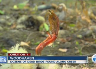 dozens of birds and ducks die in michigan creek, birds die mysteriously in michigan creek, dozens of birds and ducks die in michigan creek, The Michigan Department of Natural Resources is now investigating the mysterious deaths of nearly 50 birds along the Marsh Creek in Woodhaven