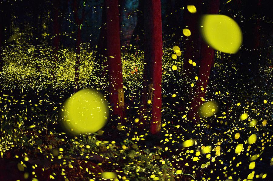 fireflies, fireflies japan, fireflies japan picture, fireflies japan 2016 pictures, fireflies tokyo japan, fireflies japan summer 2016