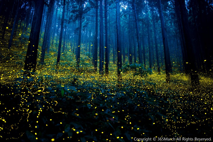 fireflies, fireflies japan, fireflies japan picture, fireflies japan 2016 pictures, fireflies tokyo japan, fireflies japan summer 2016
