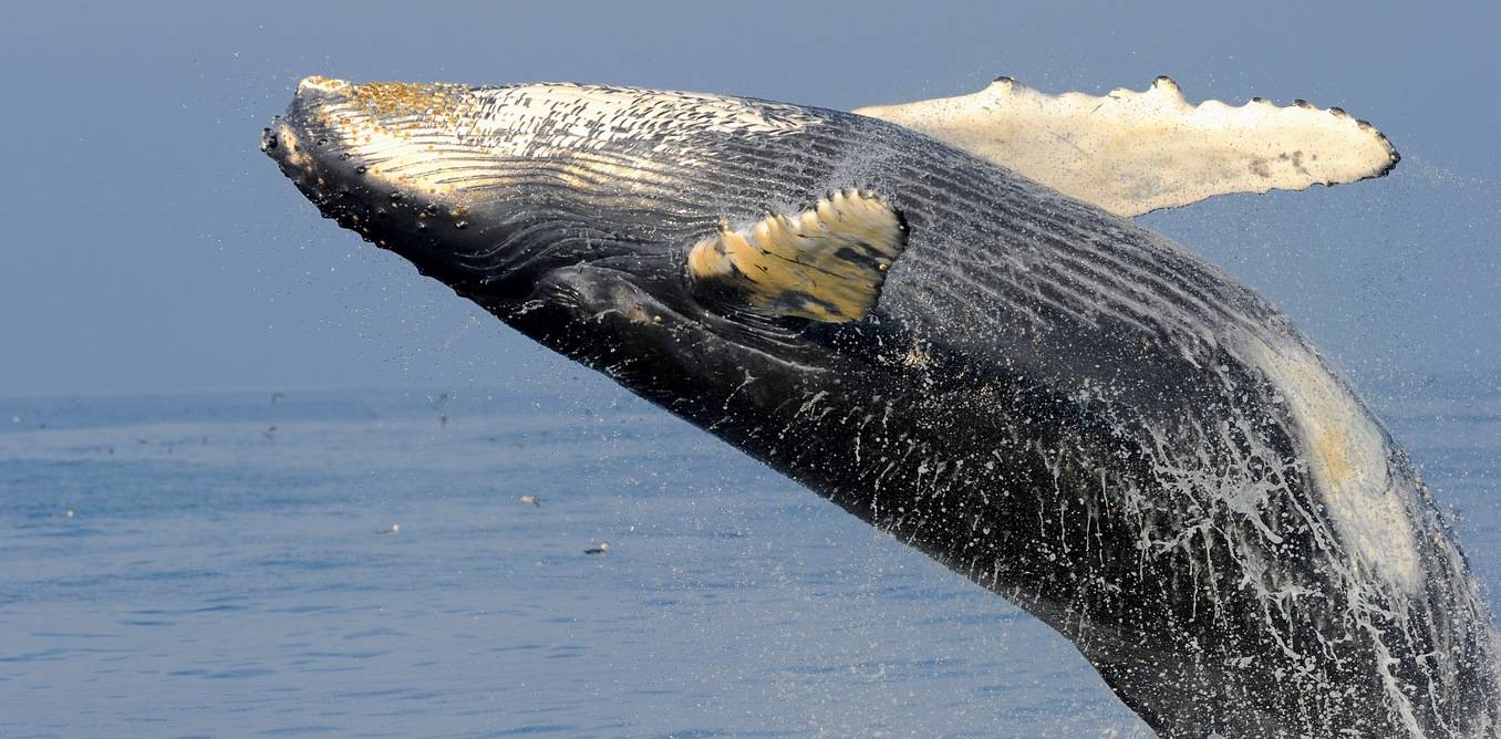 humpback whale songs, songs of humpback whale, humpback whale sounds, humpback whale strange sounds, humpback whale songs video, humpback whale song video
