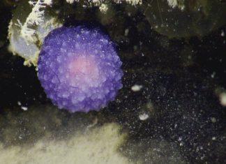 mysterious purple orb, mysterious purple blob, mysterious purple orb ocean, mysterious purple orb nautilus, mysterious purple orb ocean california nautilus picture, mysterious purple orb video