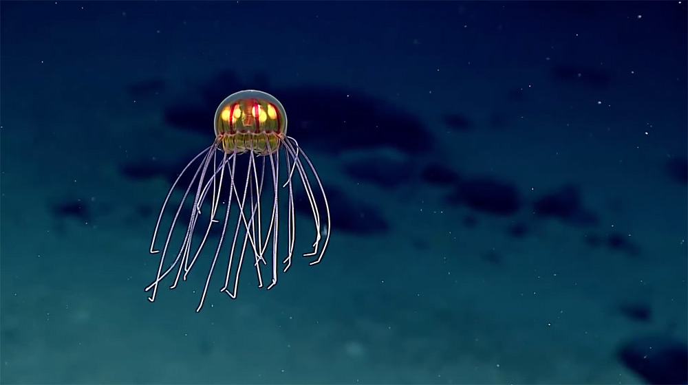 New species of surreal jellyfish discovered in Enigma Seamount New-jellyfish-mariana-trench-1